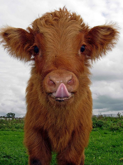 related pictures cute cows - photo #25