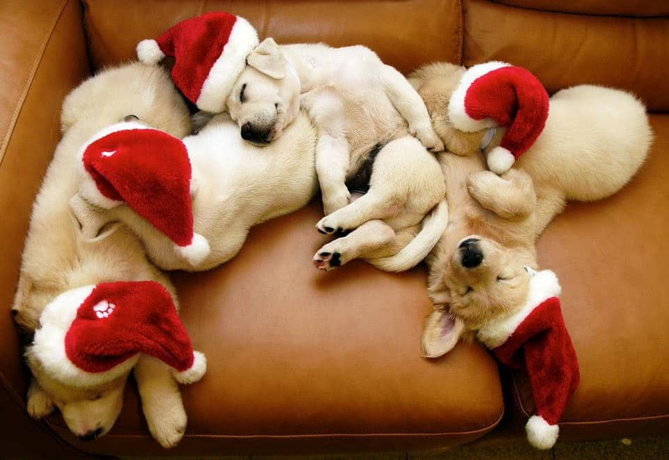 Christmas Cute Off: Cats v Puppies. Who Wins? You Decide!