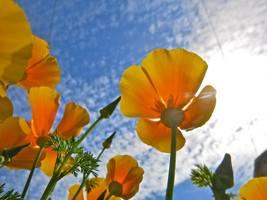 californian poppies in the sun